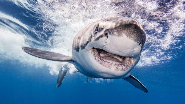 attaque requin